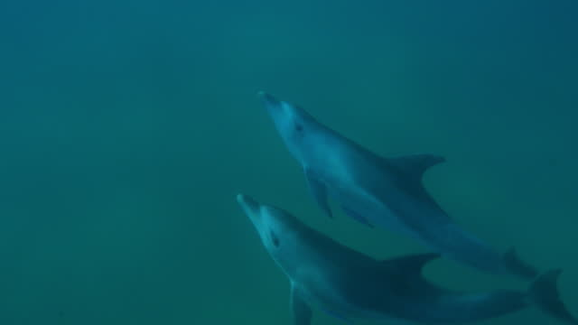 vídeos de stock e filmes b-roll de underwater pan with bottlenosed dolphin and large calf swimming in vertical circles - roaz