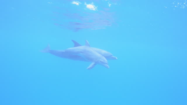 vidéos et rushes de underwater pan with bottlenosed dolphin and small calf swimming and surfacing to breathe - grand dauphin