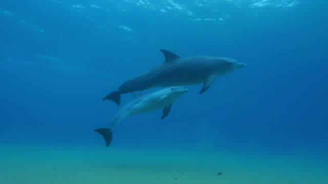 Underwater PAN with Bottlenosed dolphin and young calf breathing then swimming over seabed