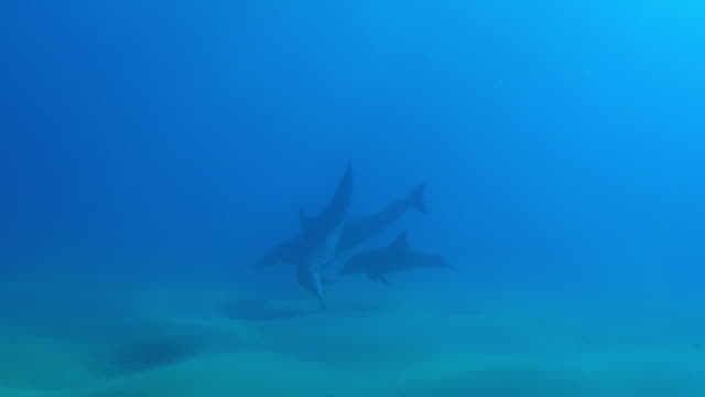 Underwater PAN with Bottlenosed dolphin and young calf checking then swimming over seabed