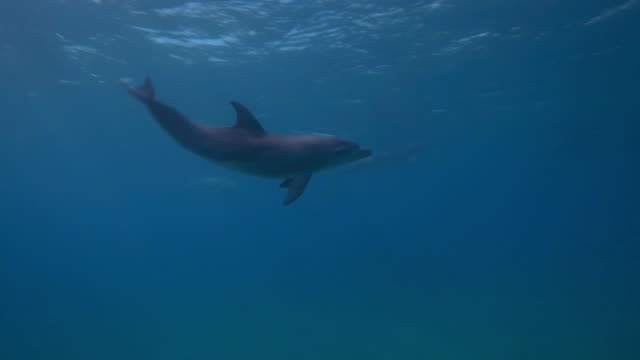 Underwater PAN with Bottlenosed Dolphin calf swimming and playing then joining mother
