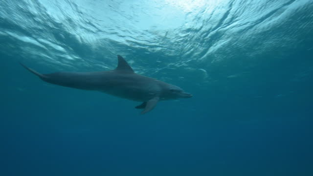 Underwater PAN with Bottlenosed dolphin calf swimming and surfacing to breathe