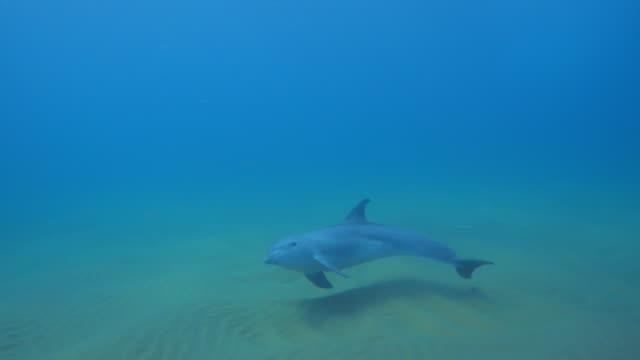 stockvideo's en b-roll-footage met underwater pan with bottlenosed dolphin calf swimming over seabed  - tuimelaar