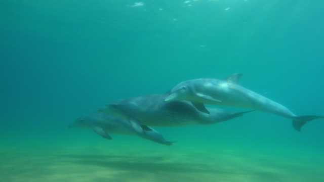 underwater pan with bottlenosed dolphin group and large calf swimming around them then synchronised dive - bottle nosed dolphin stock videos & royalty-free footage