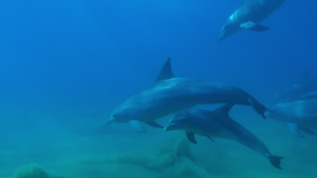 underwater pan with bottlenosed dolphin group and young calf playing and swimming above seabed - cetaceo video stock e b–roll