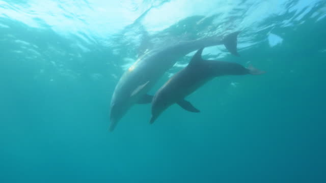 underwater pan with bottlenosed dolphin group and young calf swimming then scraping on seabed - bottle nosed dolphin stock videos & royalty-free footage