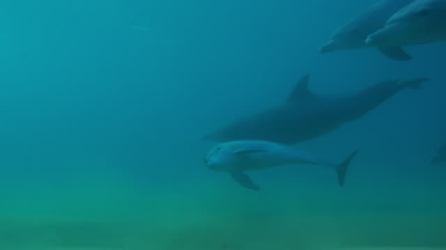 Underwater PAN with Bottlenosed dolphin group and young calf swimming above seabed with calf looking at lens