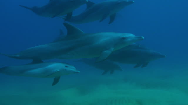 Underwater PAN with Bottlenosed dolphin group and young calf swimming above seabed