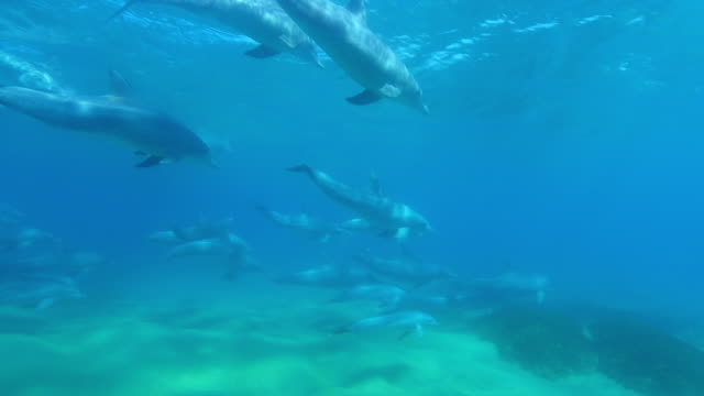 vidéos et rushes de underwater pan with bottlenosed dolphin group and young calf swimming above seabed and reef - mammifère