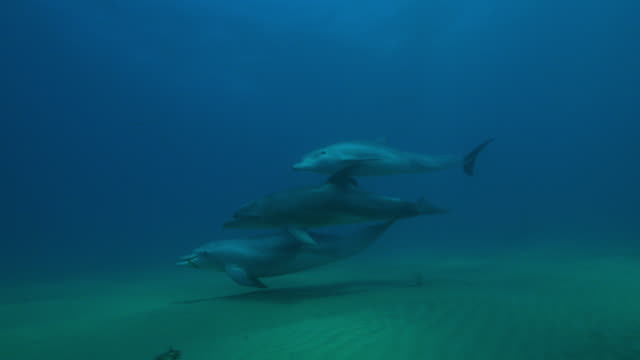 underwater pan with bottlenosed dolphin group playing with seaweed and swimming  - seaweed stock videos & royalty-free footage