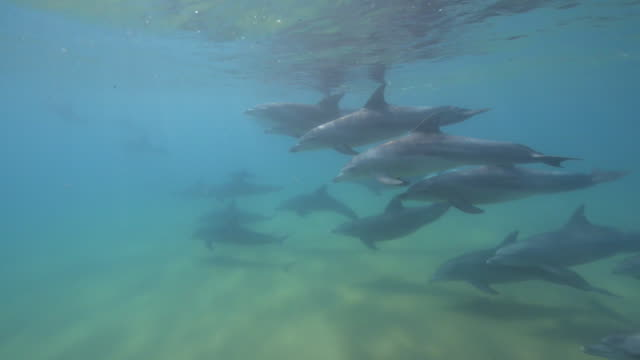 underwater pan with bottlenosed dolphin group swimming across seabed - バンドウイルカ点の映像素材/bロール