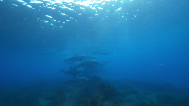 Underwater PAN with Bottlenosed dolphin group swimming and playing over reef