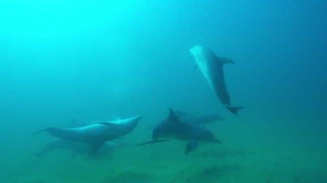 underwater pan with bottlenosed dolphin group swimming and playing the scraping backs in the sand  - dolphin stock videos & royalty-free footage