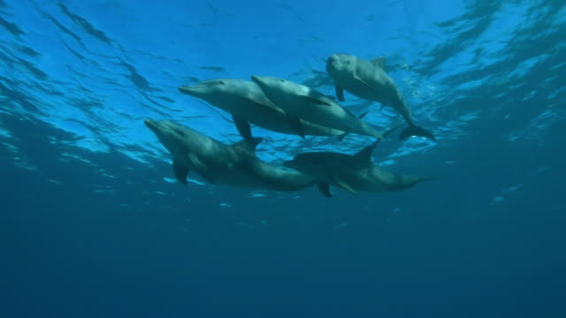 underwater la pan with bottlenosed dolphin group swimming just below surface   - cetaceo video stock e b–roll