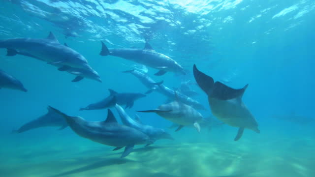 underwater pan with bottlenosed dolphin group swimming over seabed - cetacea stock videos & royalty-free footage