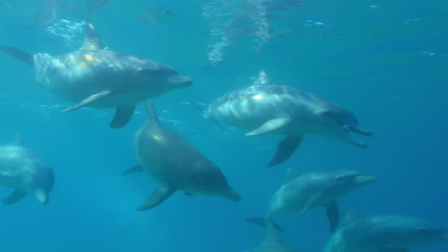 underwater pan with bottlenosed dolphin holding inflated puffer fish in its mouth and swimming in group - イルカ点の映像素材/bロール