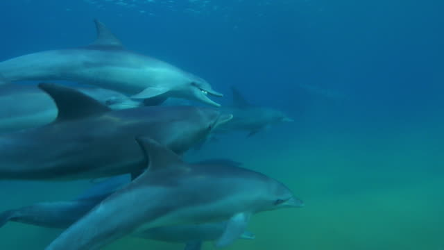 underwater cu pan with bottlenosed dolphin holding inflated puffer fish in its mouth and swimming in group - イルカ点の映像素材/bロール