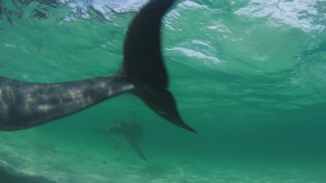 Underwater PAN with Bottlenosed Dolphin hydroplaning past camera in shallow sea