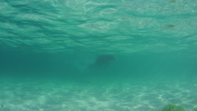 Underwater PAN with Bottlenosed Dolphin hydroplaning towards camera in shallow sea