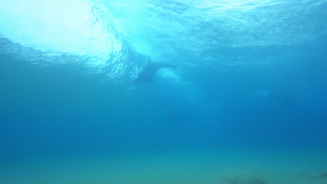 vidéos et rushes de underwater pan with bottlenosed dolphin surfing with others swimming through  - grand dauphin