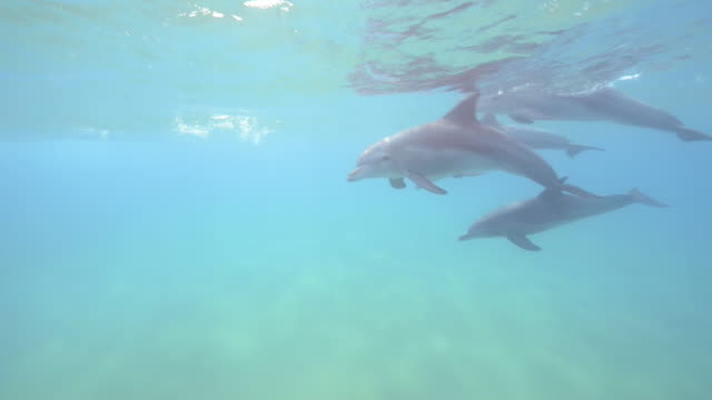 Underwater PAN with Bottlenosed Dolphin swimming and looking at lens