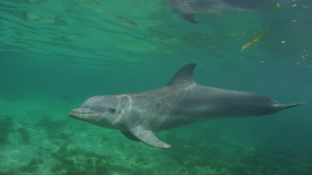 Underwater MS PAN with Bottlenosed Dolphin swimming and looking into lens