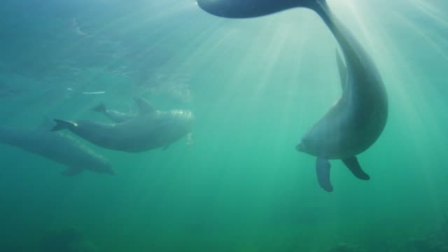 underwater cu pan with bottlenosed dolphin swimming close to camera in shallow sea - tursiope video stock e b–roll