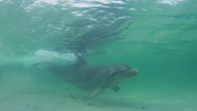 vídeos de stock, filmes e b-roll de underwater cu pan with bottlenosed dolphin swimming close to camera in shallow sea - zoologia