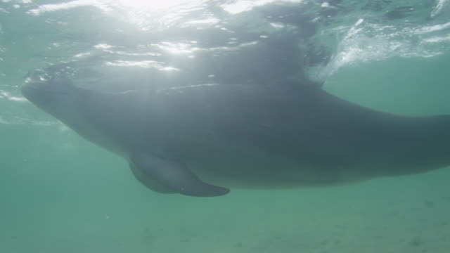 Underwater CU PAN with Bottlenosed Dolphin swimming close to camera in shallow sea and breathing