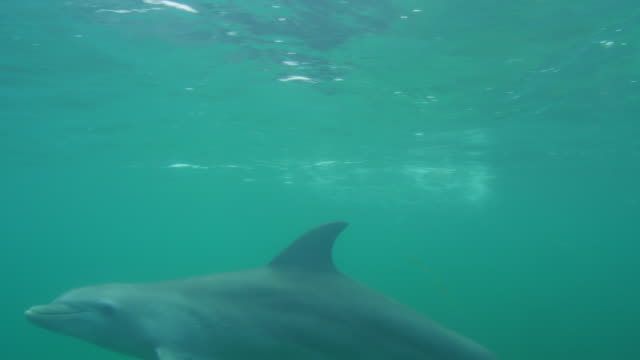 vídeos de stock, filmes e b-roll de underwater cu pan with bottlenosed dolphin swimming close to camera looking into lens - zoologia