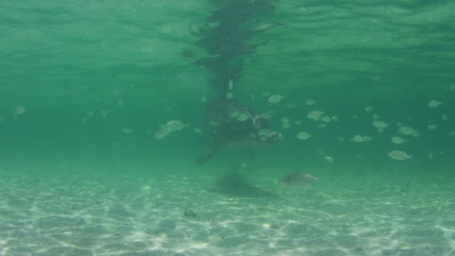 vídeos de stock, filmes e b-roll de underwater pan with bottlenosed dolphin swimming close to camera with fish in foreground  - zoologia