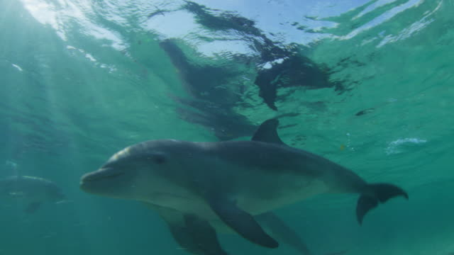 vídeos de stock, filmes e b-roll de underwater pan with bottlenosed dolphin swimming in shallow sea mouthing - zoologia