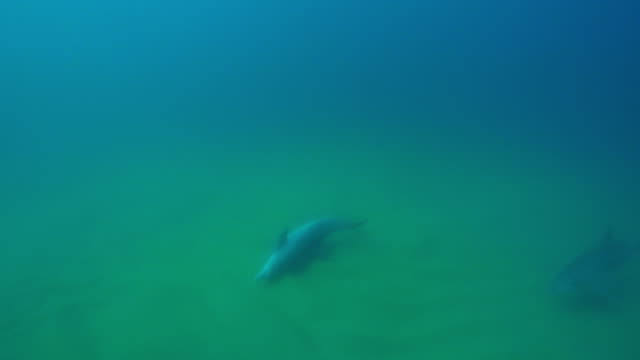 vidéos et rushes de underwater ha pan with bottlenosed dolphin swimming on its back and scraping in seabed - cétacé