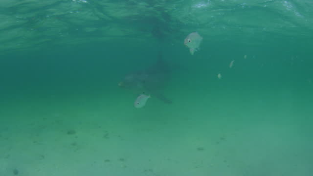 Underwater PAN with Bottlenosed Dolphin swimming over sandy seabed with fish in foreground
