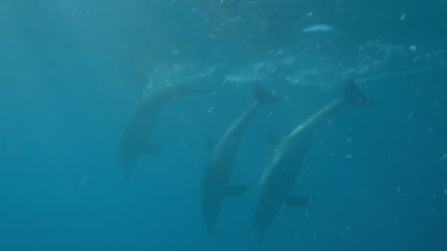 Underwater PAN with Bottlenosed dolphin swimming then diving together