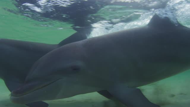 vídeos de stock, filmes e b-roll de underwater cu pan with bottlenosed dolphin swimming very close to camera in shallow sea - zoologia