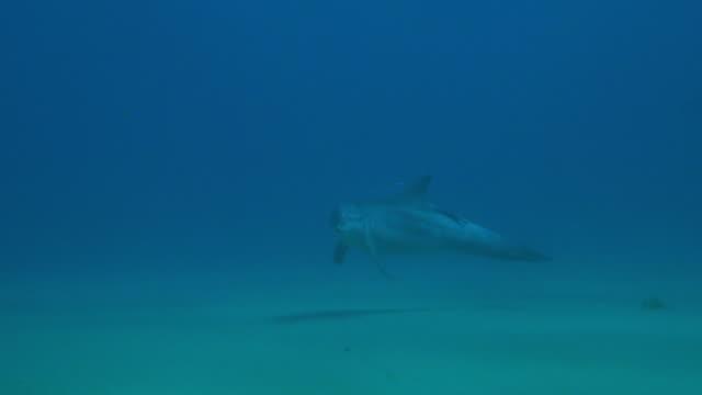 underwater pan with bottlenosed dolphin with remora on its back swimming over seabed then climbing vertically - sugfisk bildbanksvideor och videomaterial från bakom kulisserna