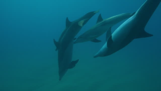 underwater cu pan with bottlenosed dolphins and calf swimming close to camera and attempting to suckle - tursiope video stock e b–roll