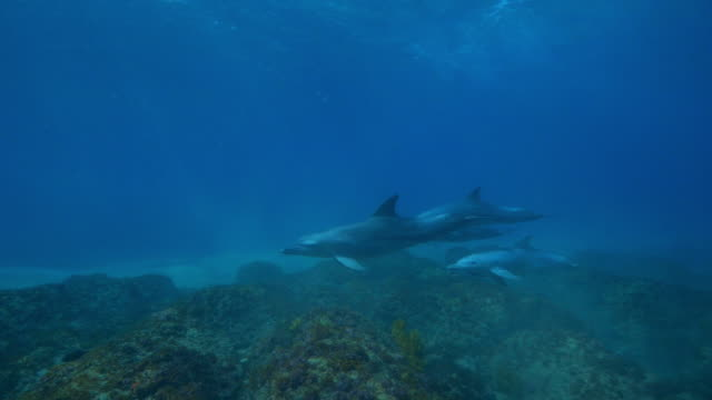 underwater pan with bottlenosed dolphins and calf swimming over reef - cetacea stock videos & royalty-free footage
