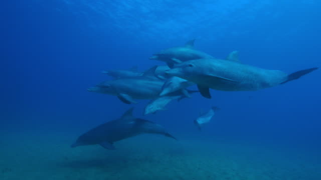 vídeos de stock e filmes b-roll de underwater pan with bottlenosed dolphins and young calf swimming above seabed - roaz