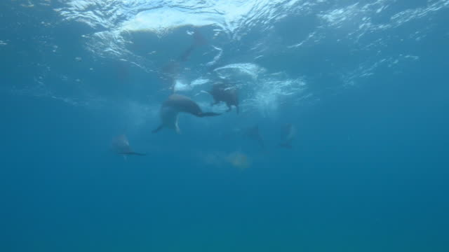 underwater pan with bottlenosed dolphins swimming around domestic dog and playing with it - dolphin stock videos & royalty-free footage