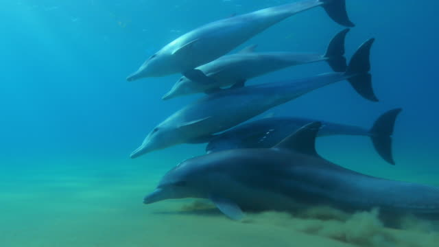 Underwater CU PAN with Bottlenosed dolphins swimming close to camera and skimming sand in seabed