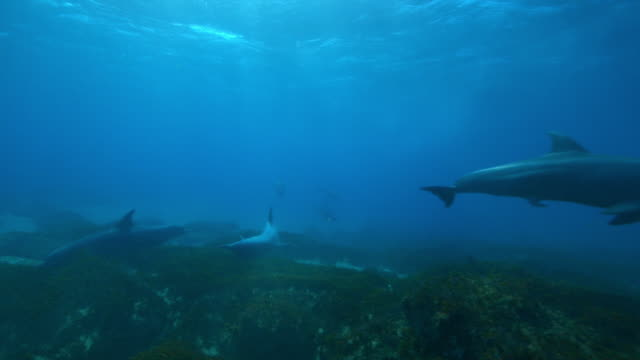underwater pan with bottlenosed dolphins swimming over reef and scraping on rocks - medium group of animals stock videos & royalty-free footage