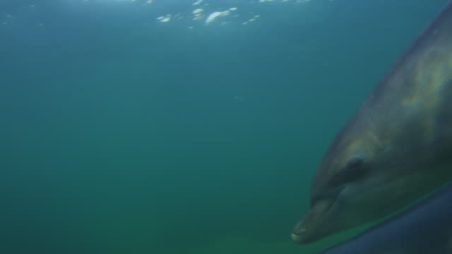 vídeos de stock, filmes e b-roll de underwater cu pan with bottlenosed dolphins swimming very close to camera in shallow sea - zoologia