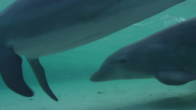 Underwater CU PAN with Bottlenosed Dolphins swimming very close to camera in shallow sea