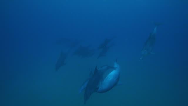 underwater ha pan with bottlenosed dolphins touching and playing  - cetacea bildbanksvideor och videomaterial från bakom kulisserna