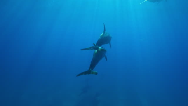 Underwater TU with Bottlenosed dolphins touching and swimming to surface