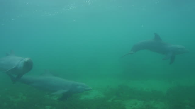 vídeos de stock, filmes e b-roll de underwater pan with bottlenosed dolphins with calf swimming below surface - zoologia