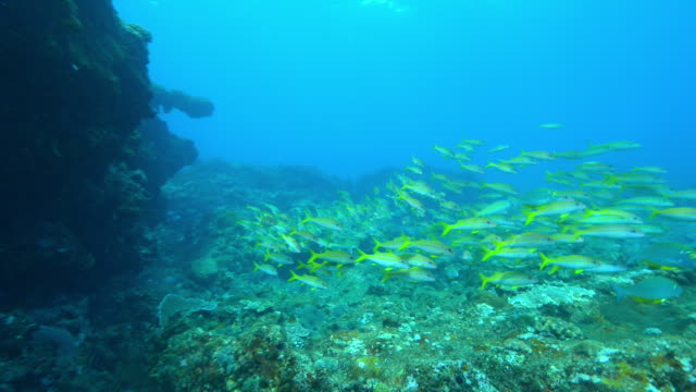 underwater pan with dense shoal of yellow goatfish and others floating in current - goatfish stock videos & royalty-free footage