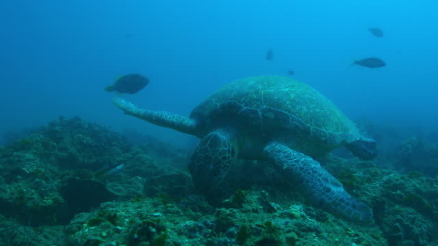 underwater pan with green turtle swimming and eating seaweed then swimming away - 海草点の映像素材/bロール